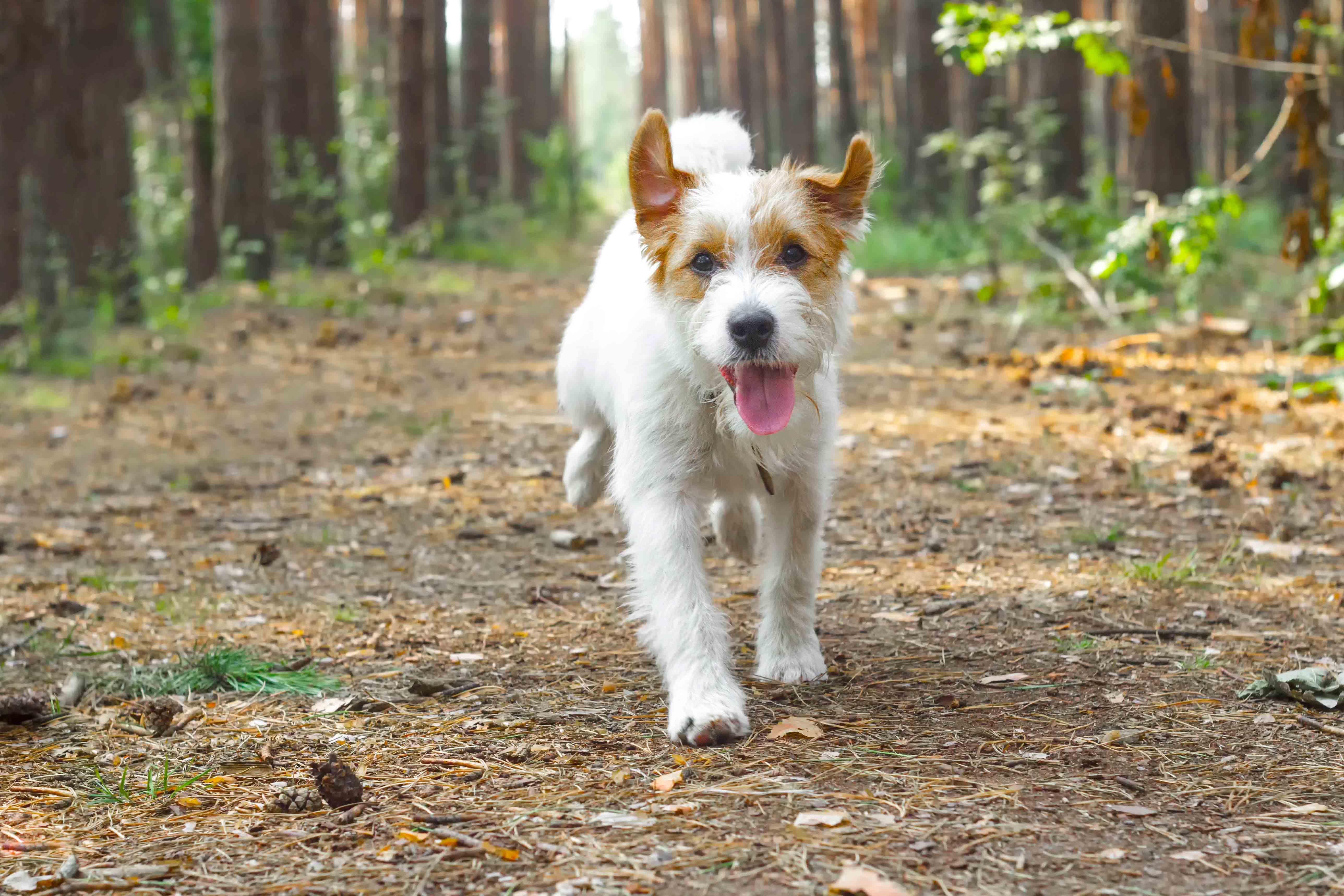 Hund ute i skogen som springer.