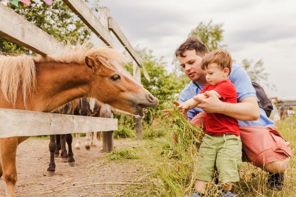 Far och son matar hästar