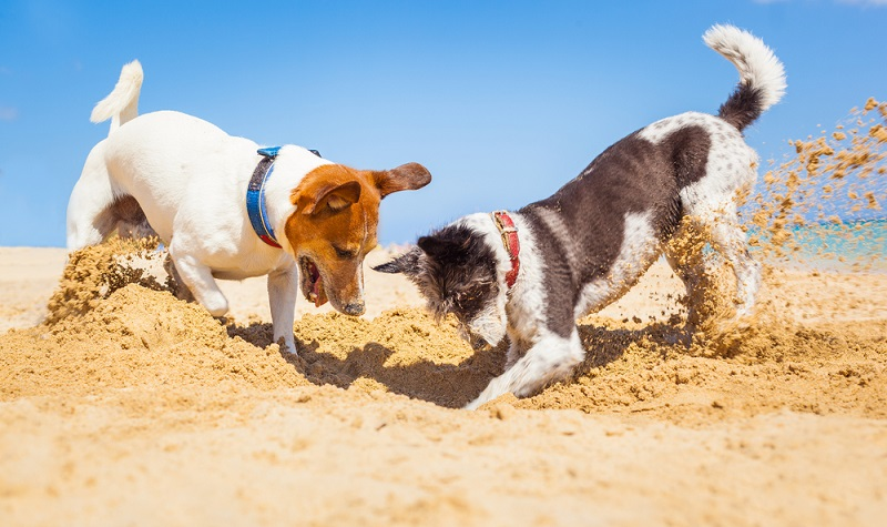 hundar som gräver på sandstrand